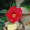 Hibiscus_Allicante.jpg