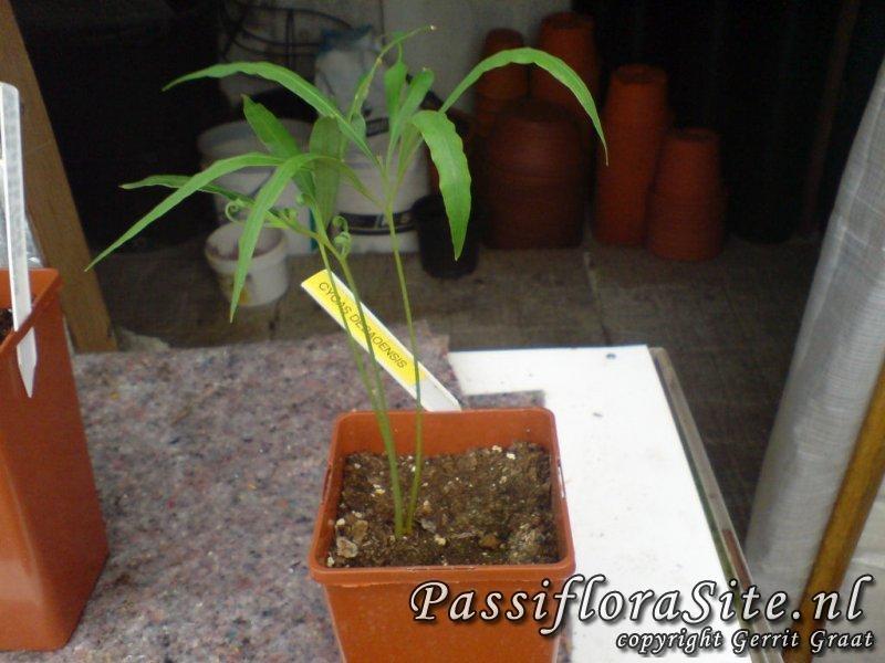 Cycas Debaoensis.JPG
