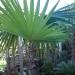 Blad Coccothrinax argentata.JPG