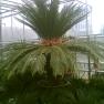 cycas-revoluta-met-prachtige-stam-en-kroon.jpg