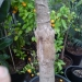 stam-coccothrinax-argentata.jpg