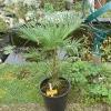trachycarpus-wagnerianus.jpg