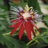 Red_Inca.jpg