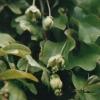 penduliflora2.jpg
