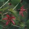 perfoliata.jpg