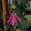 reflexiflora.jpg