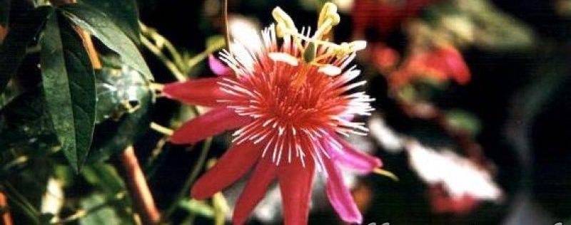 PassifloraSite